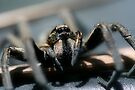 Wolf Spider, Lycosa godeffroyi (probabley) by Normf