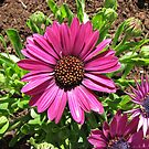 Sunkissed Cape Daisies by kathrynsgallery