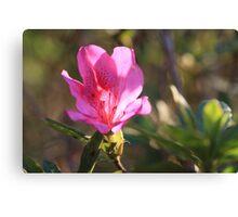 warming pink Canvas Print
