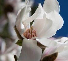 Magnolia by Olga Zvereva