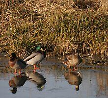 ducks on a frozen river  by shaun pearce