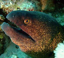 Yellowmargin Moray Eel by lilithlita