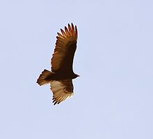 """""""Does the hawk take flight by your wisdom and spread its wings toward the south?"""" Job 39:26 by Laurie Puglia"""