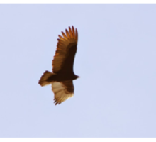 """""""Does the hawk take flight by your wisdom and spread its wings toward the south?"""" Job 39:26 Sticker"""