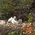 Pelicans by starbucksgirl26