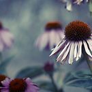 Daisy in the afternoon by Ross Jardine