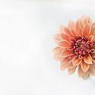 Dahlia Flower by Ross Jardine