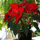 Euphorbia by Gilberte