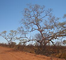 Trees along the red dirt road to Lark Quarry, near Winton, QLd. Australia by Marilyn Baldey