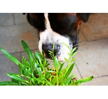 What's this???? -Boxer Dogs Series- Photographic Print