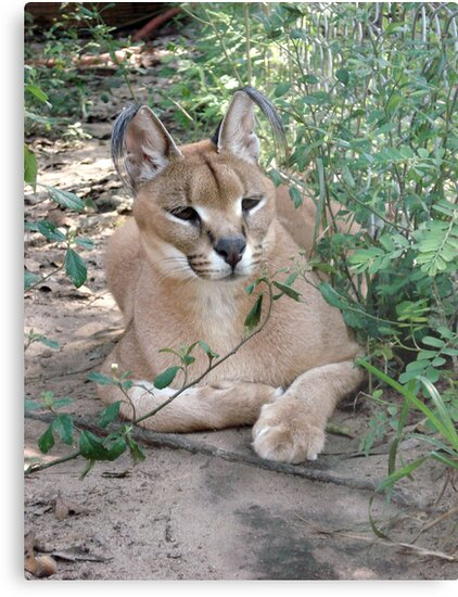Sally, the Caracal by May Lattanzio