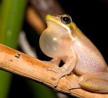 Eastern Dwarf Tree Frog (Litoria fallax) by herpetofauna