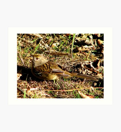 Young Golden-crowned Sparrow Art Print