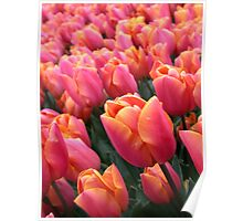 Dutch Pink Tulips Field Spring Flowers Holland Poster