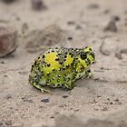 Holy Cross Toad by Dave Fleming