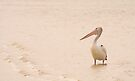 Pelican at Island Beach in landscape by Elana Bailey