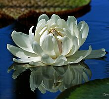 Amazonica Water Lily by bombamermaid
