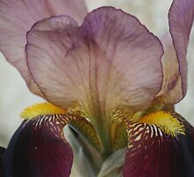 Purple Iris Another Angle by Pamela Jayne Smith