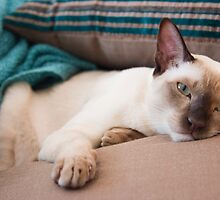 Tonkinese Cats by Belle Farley
