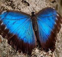 Iridescent Aqua Blue Wings of Blue Morpho Butterfly Costa Rica by HotHibiscus