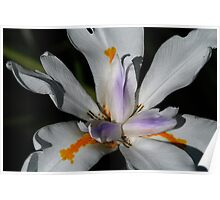 Lilly White Blossom Poster