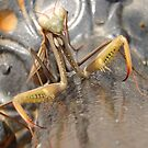 Mantis in Macro by taiche