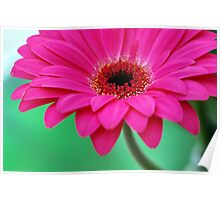 Bright Magenta Pink Pretty Gerbera Daisy Petals Close-up Poster