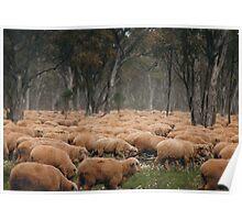Droving Sheep at Albert  © Vicki Ferrari Photography Poster