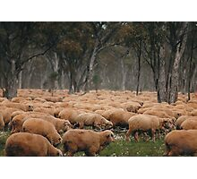 Droving Sheep at Albert  © Vicki Ferrari Photography Photographic Print