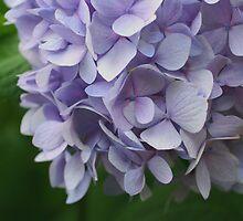 Sweet Blue Hydrangea by SmilinEyes