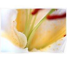 White Cream Delicate Lily Flower with Burgundy Red Stamen Poster