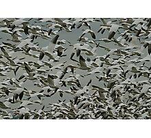 Snow Geese Photographic Print