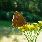 Ringlet Butterfly by Robert Abraham