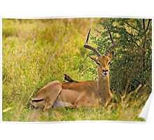 Impala and Red-billed Oxpecker Poster
