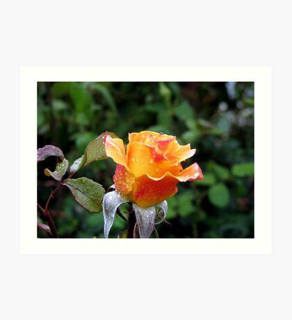 Rose n Rain Art Print