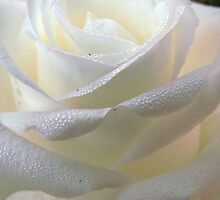 Close up of white rose 11 by AnnArtshock