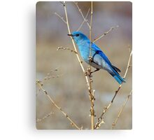 Blue in spring Canvas Print