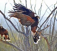 Mr & Mrs Harris Hawk  by Judy Grant