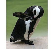 Penguin - London Zoo Photographic Print