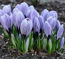 Crocus by Aase
