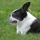 Boston Terriers by Karen Checca
