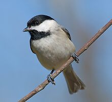 Chickadee on a January Day by Bonnie T.  Barry