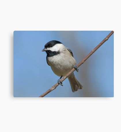 Chickadee on a January Day Canvas Print