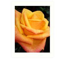 Yellow blushing rose Art Print