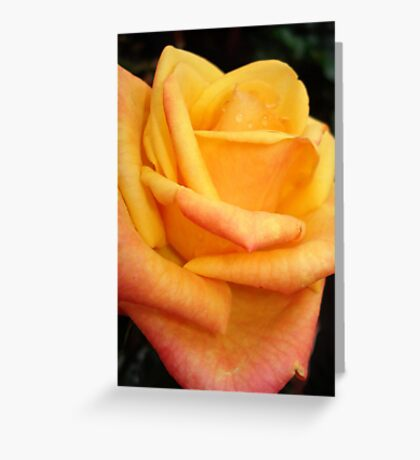 Yellow blushing rose Greeting Card