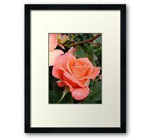 Coral Rose Framed Print