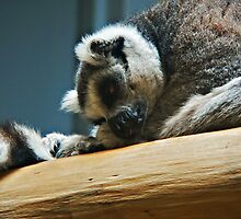 Sleeping Lemur by CindyG