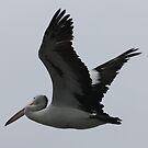 Pelican Flight by Kelly Robinson