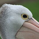 Pelican looking at you by Kelly Robinson