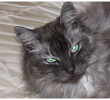 BEAUTIFUL GREY LONGHAIRED CAT Photographic Print